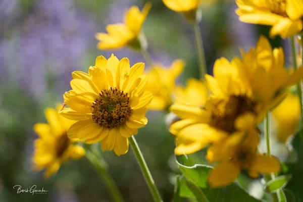 yellow wildflowers Columbia Gorge