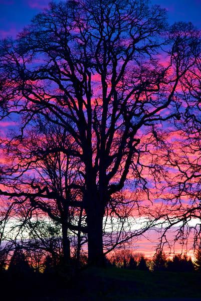 Eugene Tree Sunset Art   Shaun McGrath Photography