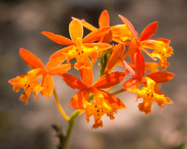 Crucifix Orchid Photography Art   It's Your World - Enjoy!
