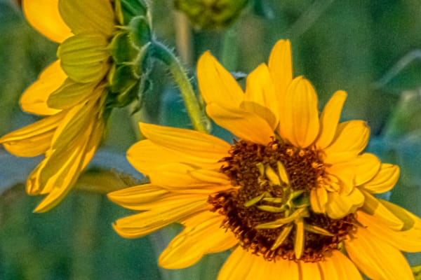 Sunflower Close Up Mirrored Image 2 Photography Art   Silver Spirit Photography