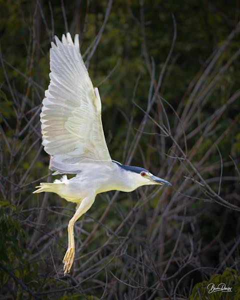 Black Crowned Night Heron Take-Off II