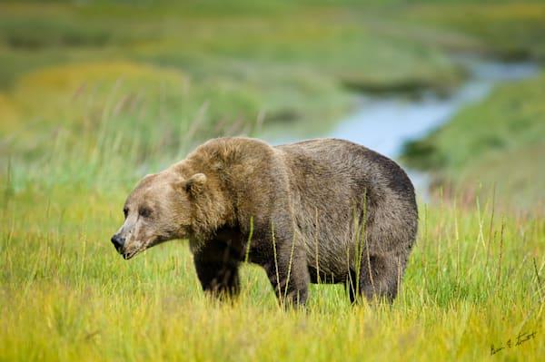 Brown Bear grazing on a hillside