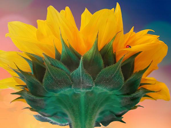 Sunflower Essay #2 Art | Light Pixie Studio
