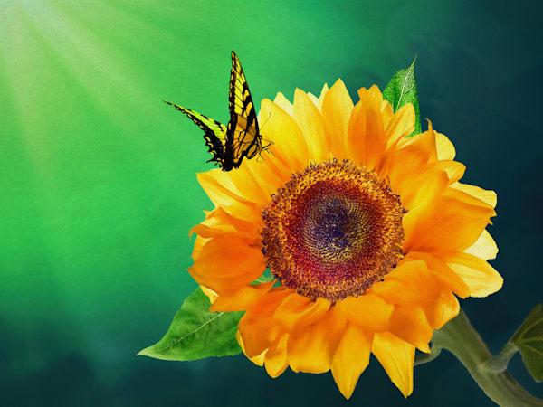 Sunflower Essay #4 Art | Light Pixie Studio
