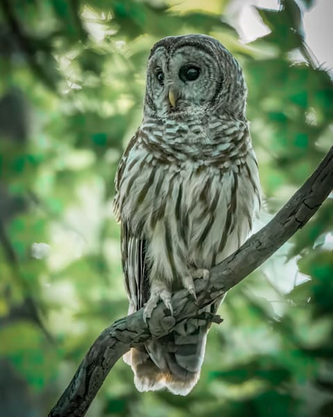Perched Barred Owl