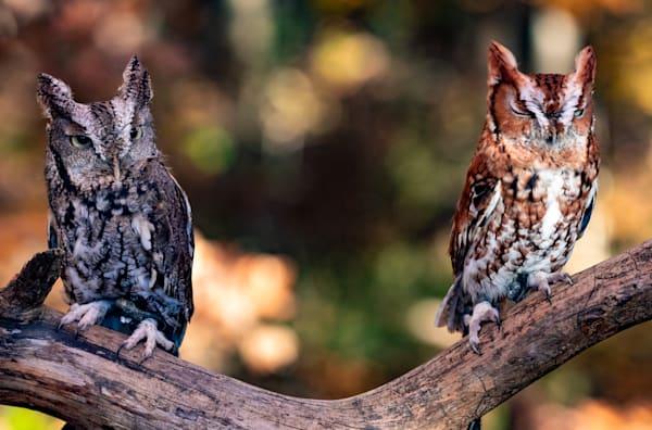 Eastern Screech Owl Pair