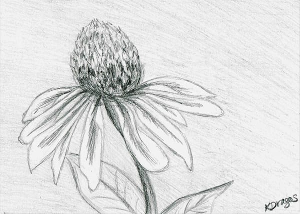 Cone Flower - Graphite Pencil Drawing Prints