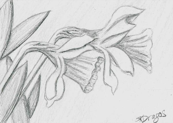 Daffodil - Graphite Drawing Art Prints