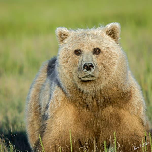 Early Morning Bear Portrait