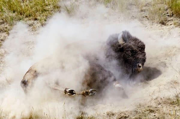 Bison bull dust wallow