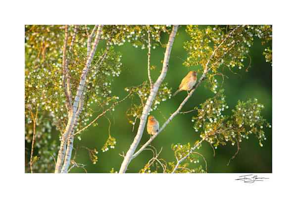 Creosote bush with house finches as wall art.