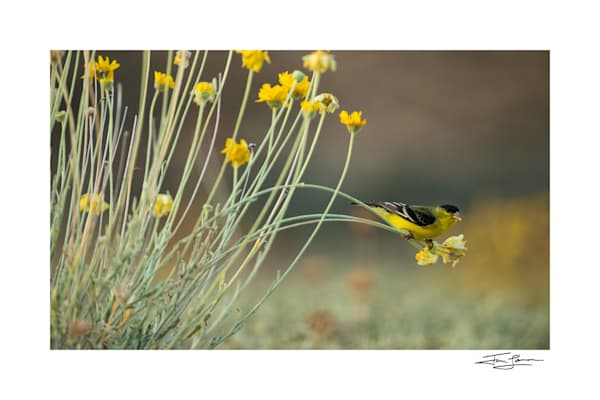 Lesser goldfinch weighs down flowers during breakfast.
