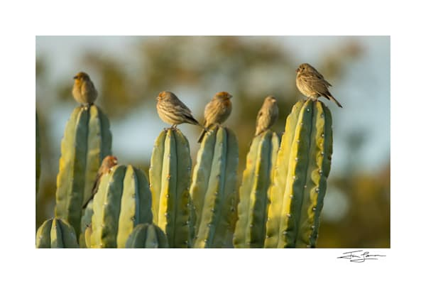 House finches sitting on cactus as fine art.