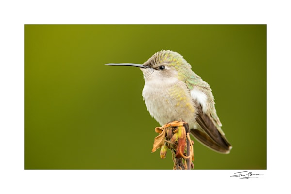 Portrait of a Costa's Hummingbird, fine art for your home.