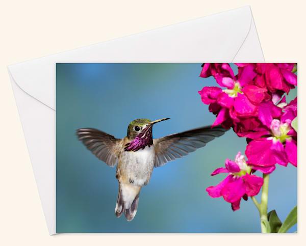 Calliope Hummingbird Blank 5x7 Card
