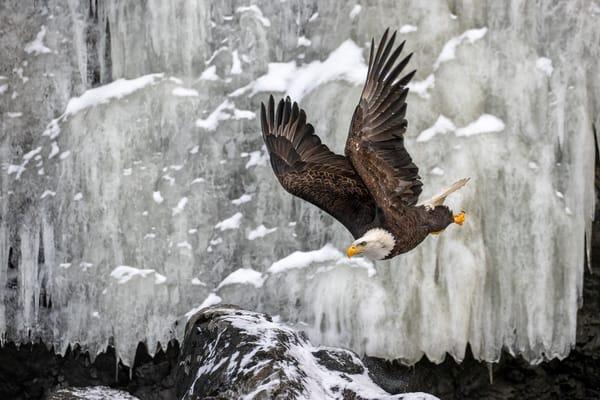 Bald Eagle Flying By Frozen Ice Waterfall 74 I0370 Kachemak Bay Alaska Usa Photography Art | Clemens Vanderwerf Photography