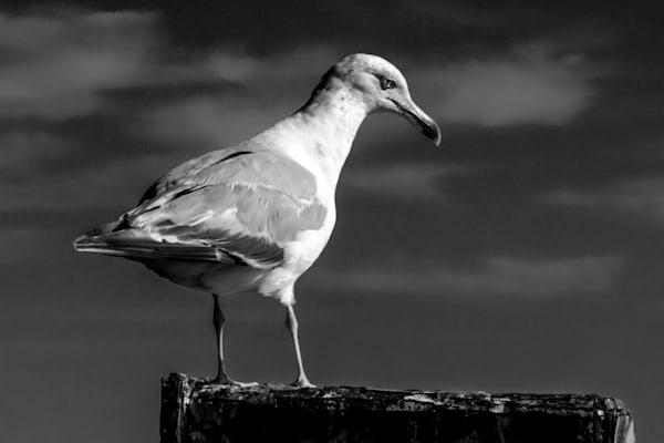 Seagull Photography Art   Nick Levitin Photography