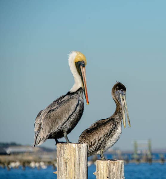 Male and female brown pelicans on pier post