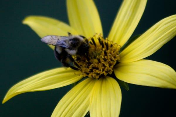 Busy Bee Photography Art   E. Morton Studios