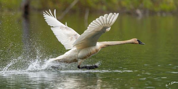 Swan Walking On Water Art | Alaska Wild Bear Photography