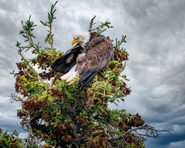 Bald Eagle Preening Photography Art | Carol Brooks Parker Fine Art Photography