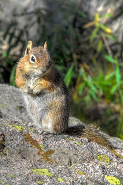 Ground Squirrel, Rocky Mouintain National Park