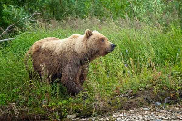 Alaskan Brown Bear And Wildflowers Photography Art | Carol Brooks Parker Fine Art Photography