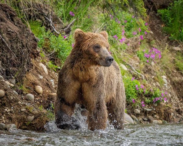 Alaskan Brown Bear In The Alagnak River Photography Art | Carol Brooks Parker Fine Art Photography
