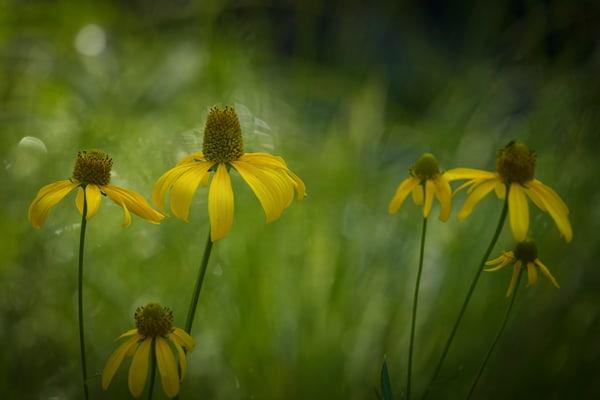 Cutleaf Coneflower Photography Art | Kendall Photography & Fine Art