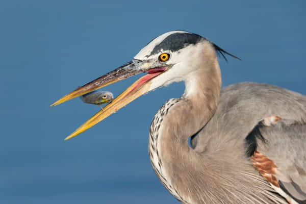 Great Blue Heron With Little Fish In Mid Air E7 T4461 Estero Lagoon Fort Myers Beach Usa Photography Art | Clemens Vanderwerf Photography