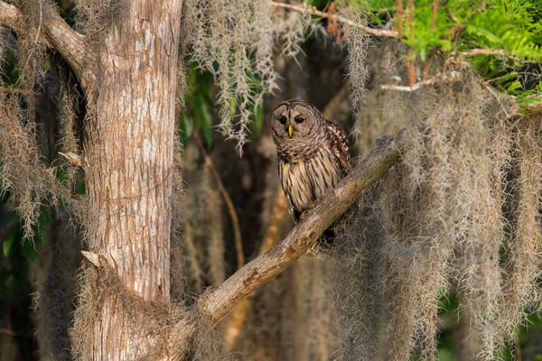 Barned Owl Hiding In Spanish Moss E7 T0227 Lake Blue Cypress Indian River County Usa Photography Art | Clemens Vanderwerf Photography