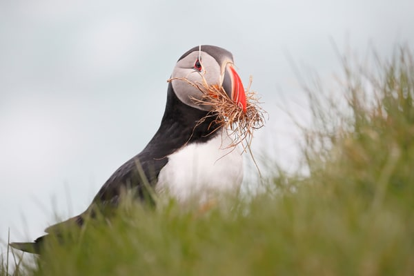 Atlantic Puffin With Grass In His Beak A3 I3189 Latrabjarg West Iceland Photography Art | Clemens Vanderwerf Photography