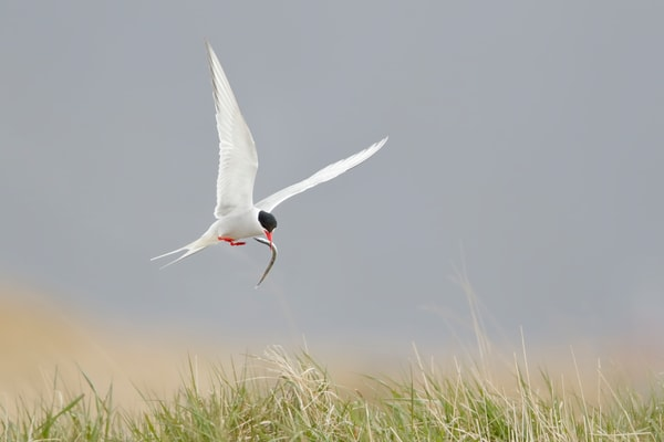 Arctic Tern With Pipe Fish 44 A2126 Ytri Tunga West Iceland Photography Art | Clemens Vanderwerf Photography