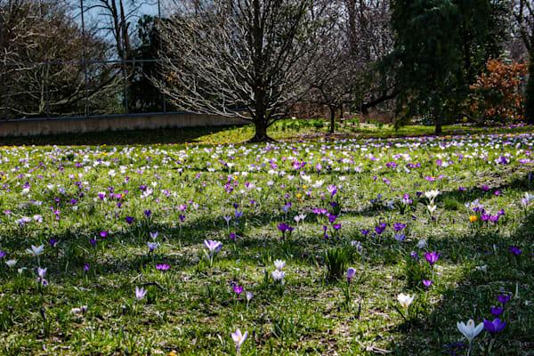 Early Spring Field of Crocus 248