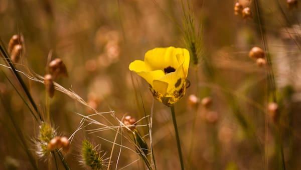 Mariposa Lily, Mendocino, California