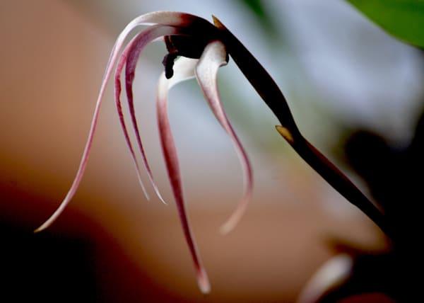 Elegant orchid, purple and pink long petals