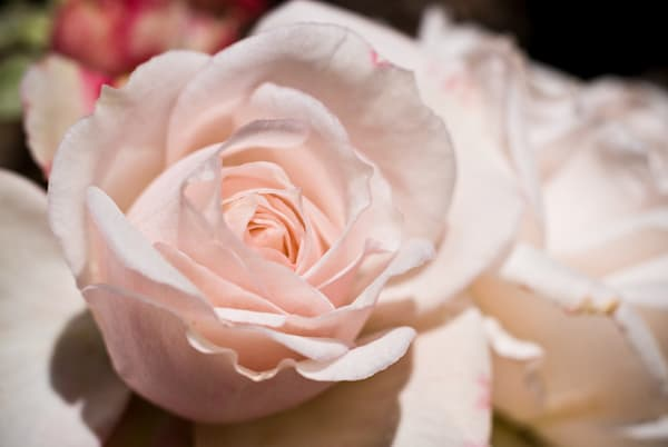Soft pink roses detail