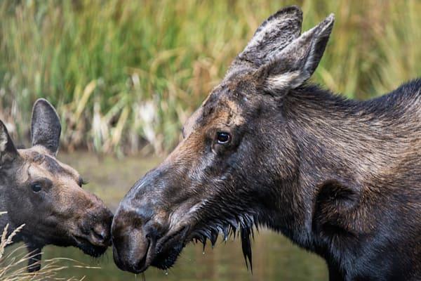 Shop for Fine Art Wildlife Photographs Colorado | Birds, Butterflies, Wolves, Horses, Goats and Moose.