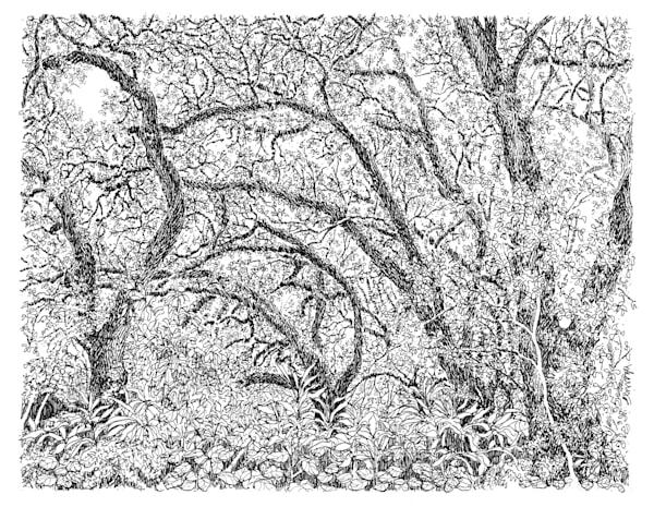 live oak tree, audubon park, new orleans:  fine art prints in elegant pen available for purchase online
