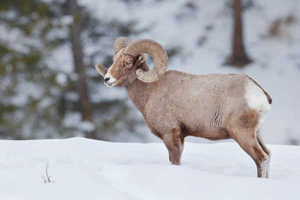 Bighorn Sheep Bull Standing In The Snow B8 R7120 Yellowstone National Park Wy Usa Photography Art | Clemens Vanderwerf Photography