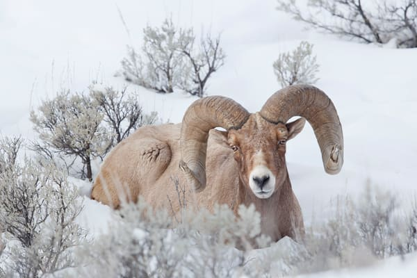 Bighorn Sheep Bull Laying In The Snow B8 R7076 Yellowstone National Park Wy Usa Photography Art | Clemens Vanderwerf Photography