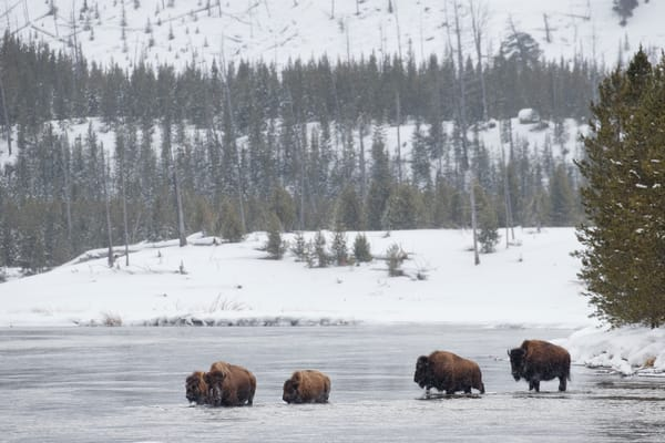 Bison Crossing The Madison River B8 R6659 Yellowstone National Park Wy Usa Photography Art | Clemens Vanderwerf Photography