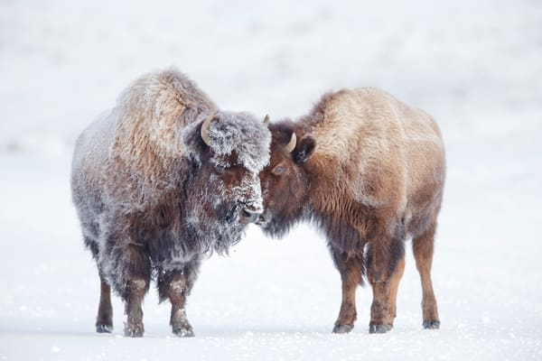 Bison Standing Together B8 R6102 Yellowstone National Park Wy Usa Photography Art | Clemens Vanderwerf Photography