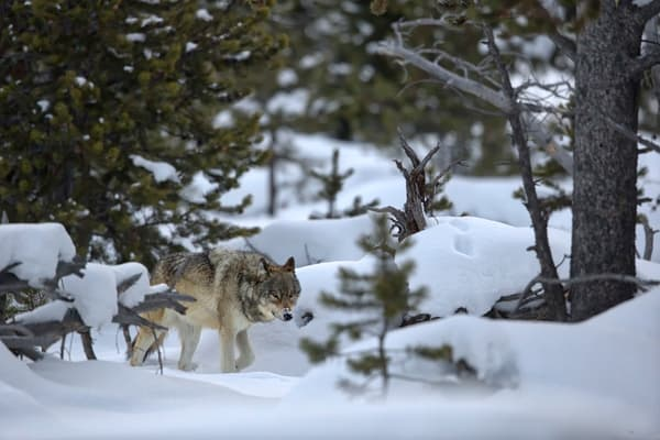 Wolf Cruising Through The Pine Trees Ii B8 R6308 Yellowstone National Park Wy Usa Photography Art | Clemens Vanderwerf Photography
