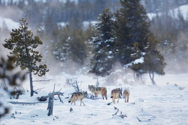Wolves Walking Through The Snow Ii B8 R6356 Yellowstone National Park Wy Usa Photography Art | Clemens Vanderwerf Photography