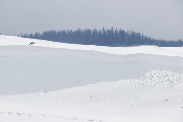 Red Fox Walking Along Snow Ridge B8 R6432 Yellowstone National Park Wy Usa Photography Art | Clemens Vanderwerf Photography