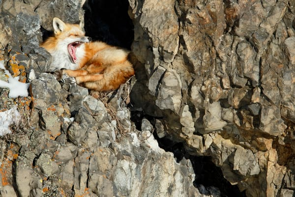 Red Fox Yawning E7 T5409 Lamar Valley Yellowstone National Park Wy Usa Photography Art | Clemens Vanderwerf Photography