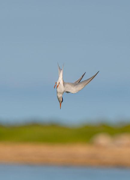 Tern Dive Art   Michael Blanchard Inspirational Photography - Crossroads Gallery