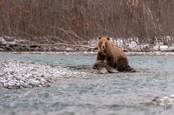 Guarding The Kill Art   Alaska Wild Bear Photography