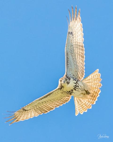 Kreider's Red Tailed Hawk
